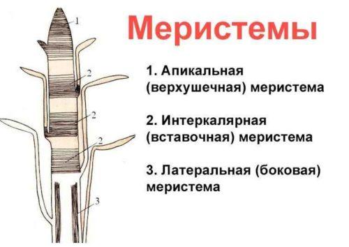 Особенности тканей растений - типы, признаки и функции 3
