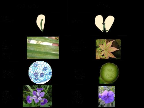 Какие растения относят к однодольным? Признаки, особенности строения и примеры 2