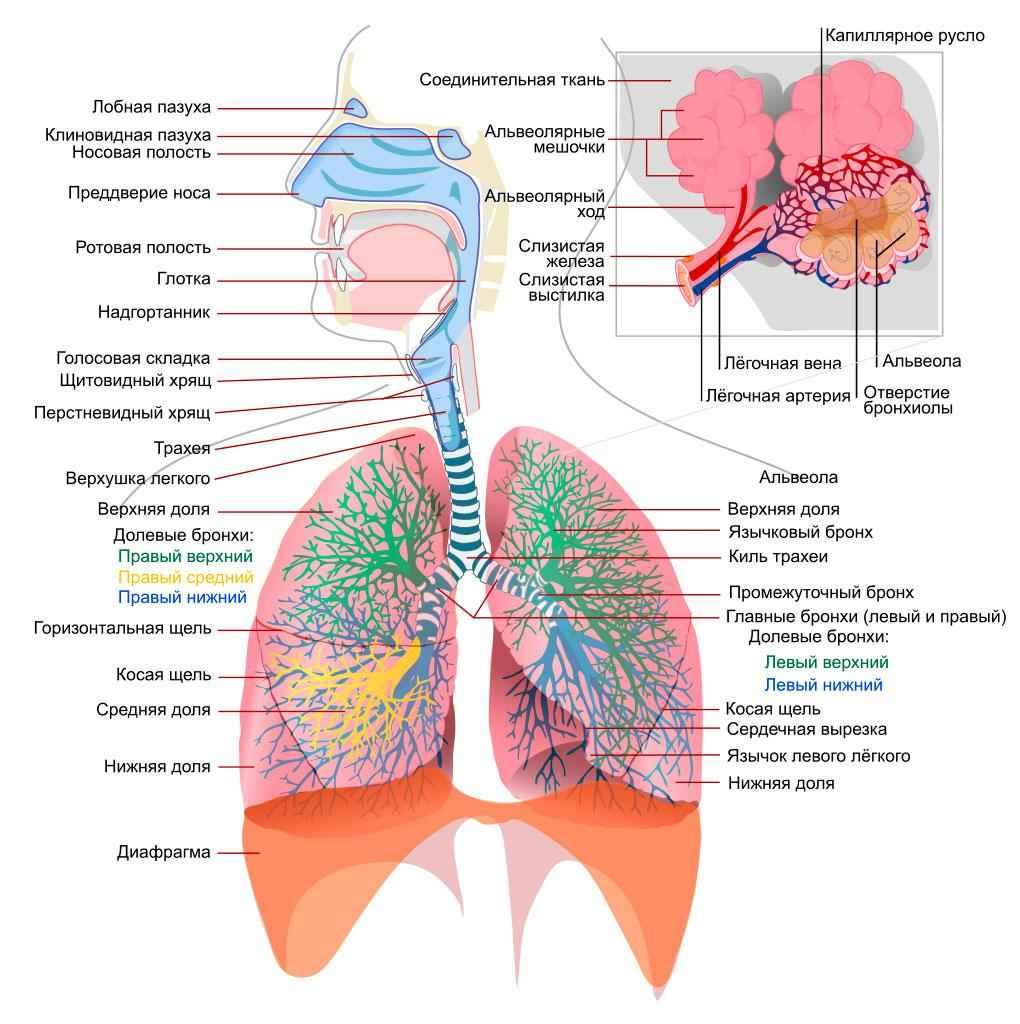 Дыхательная система человека - функции, схема строения и органы 2