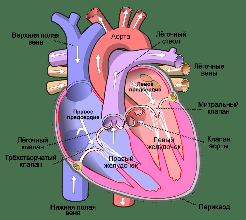 Сердечно-сосудистая система человека - функции, строение и органы 3
