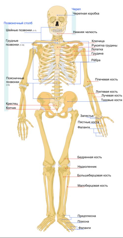 Особенности анатомии тела человека 2