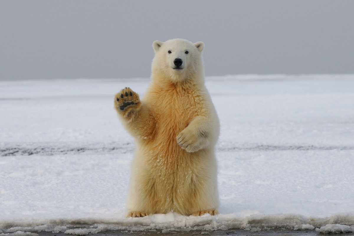 белый медведь, полярный медведь, дикое животное, привет, стоит, на двух лапах