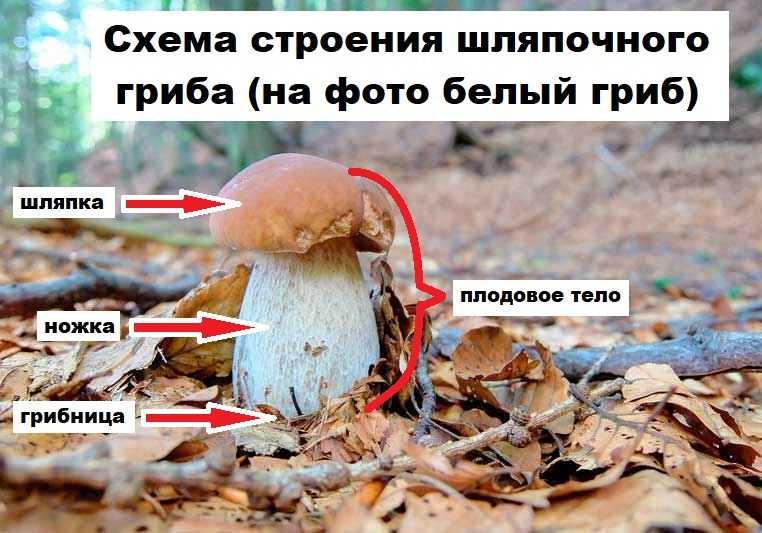 Схема строения шляпочного гриба