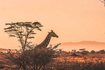 жираф, саванна, Африка, вечер
